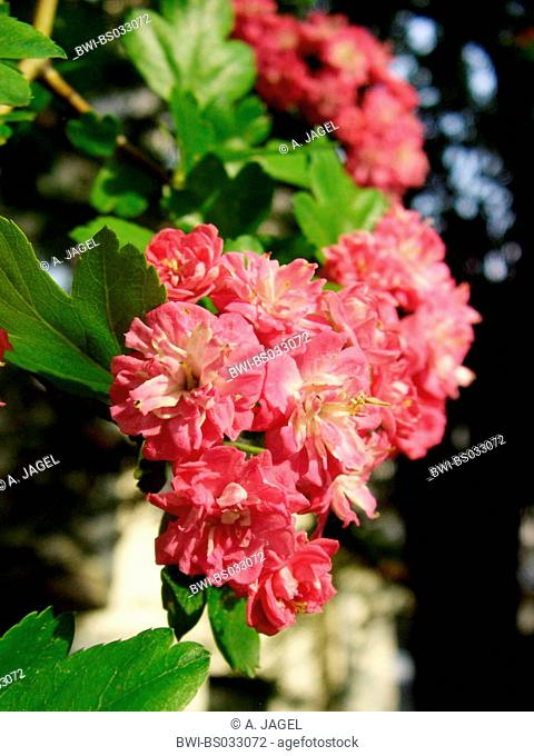 English hawthorn, midland hawthorn (Crataegus laevigata 'Paul's Scarlett', Crataegus laevigata Pauls Scarlett), flowers