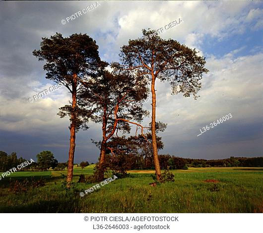 Three (3) pines. Poland