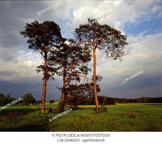 Three (3) pines. Poland