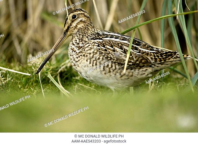 Magellan Snipe, aka Paraguayan Snipe (Gallinago paraguaiae) Showing camouflage, Carcass Is., Falklands Islands