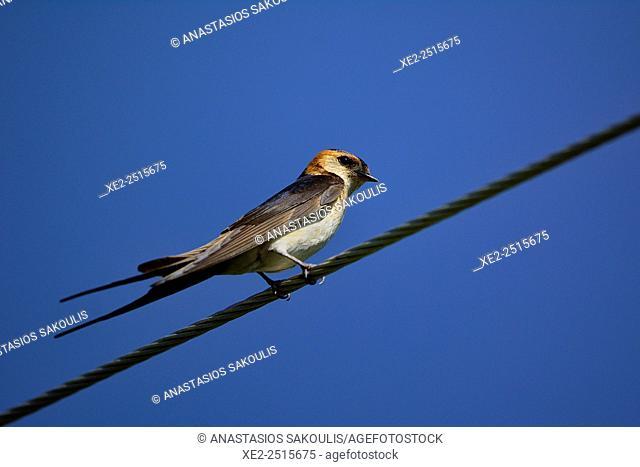 Red-rumped Swallow Hirundo daurica, Greece