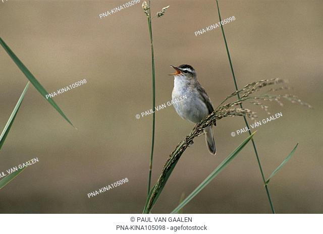 Sedge Warbler Acrocephalus schoenobaenus - Narew National Park, Narwianski Park Narodowy, Northeast Poland, Podlaskie, Podlachia, Poland, Europe