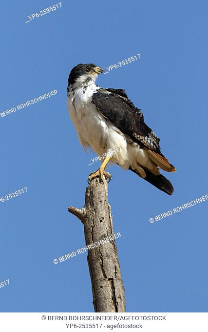 Augur buzzard (Buteo augur) perched on branch, Samburu National Reserve, Kenya