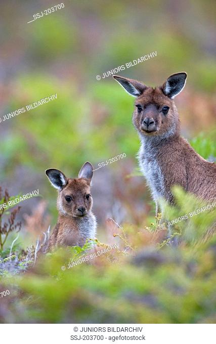 Western Grey Kangaroo (Macropus fuliginosus). Female with joey in fern. Kangaroo Island, Flinders Chase National Park, Australia