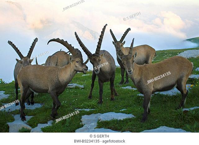 alpine ibex Capra ibex, two animals in a meadow between rocks, Switzerland, Sankt Gallen, Chaeserrugg, Toggenburg