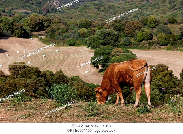 CORSICAN BREED COW, SOUTHERN CORSICA (2A), FRANCE