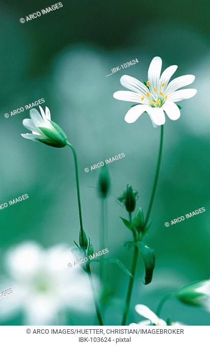 Greater Stitchwort, North Rhine-Westpahlia, Germany (Stellaria holostea)