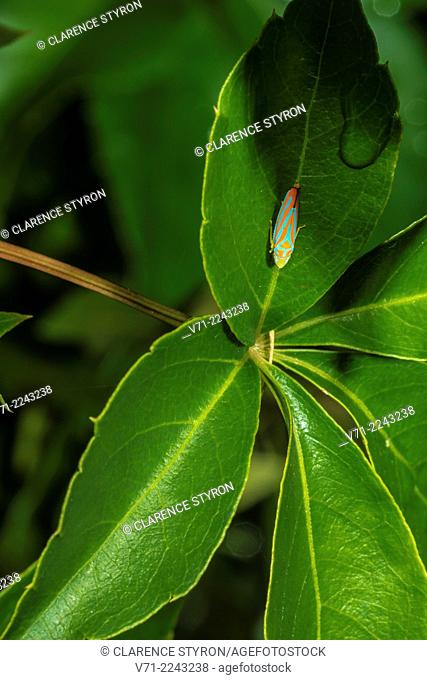 Candy-striped Leafhopper (Graphocephala coccinea) on Virginia Creeper (Parthenocissus quinquefolia) Leaf