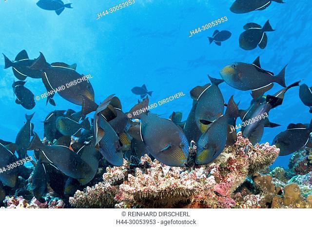 Shoal of Black Triggerfish, Melichthys niger, Christmas Island, Australia