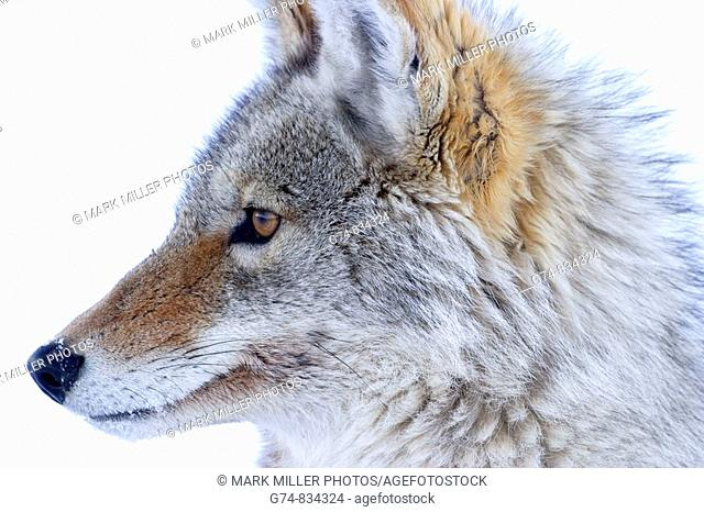 coyote found across N American Continent, this photo taken in the American West