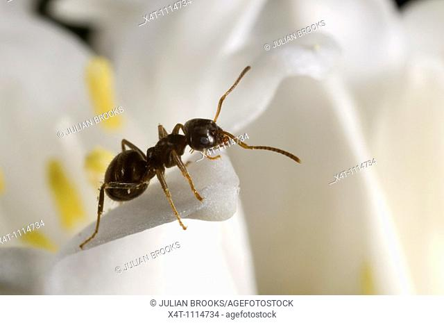 Garden ant Lasius niger scavenging on a white bluebell