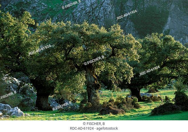 Evergreen Oaks Sierra de Grazalema Natural Park Andalusia Spain Quercus ilex