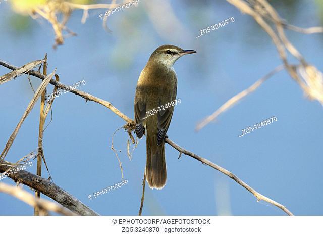India Clamorous reed warbler, Acrocephalus stentoreus, Bhigwan, Maharashtra