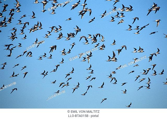 Flock of Common Tern Sterna hirundo Flying Across the Blue Sky  Kenton on Sea, Eastern Cape Province, South Africa