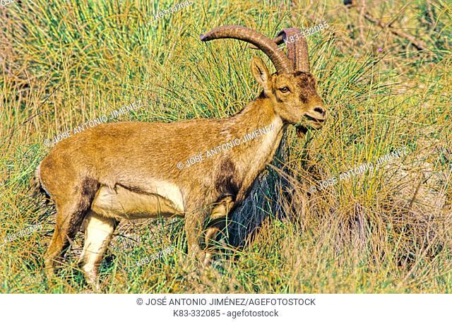 Rock Goat (Capra ibex). Parque Natural Sierras de Tejeda y Almijara. Málaga province. Spain