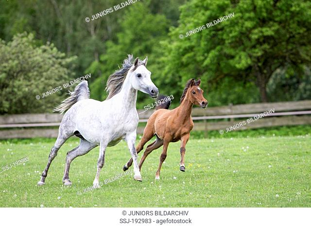 Arabian Horse. Gray mare with foal galloping on a meadow. Austria