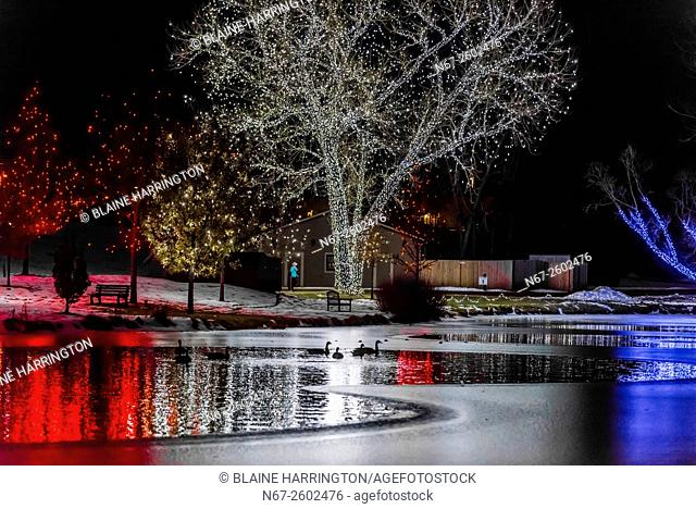 Geese floating on water in lake, A Hudson Christmas (holiday light show at Hudson Gardens), Littleton, Colorado USA