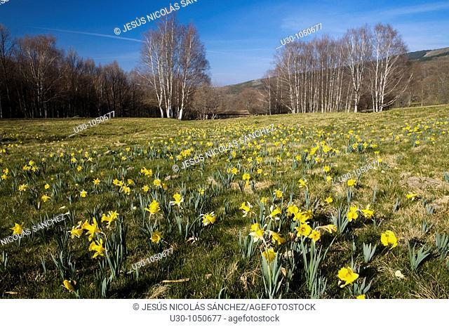 Daffodils Narcissus pseudonarcissus in the meadows of Sierra De Béjar  Western massif of Sierra De Gredos  Candelario  Salamanca  Castilla y León  Spain