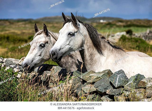 Connemara ponies look over stone wall, Connemara, Galway, Ireland
