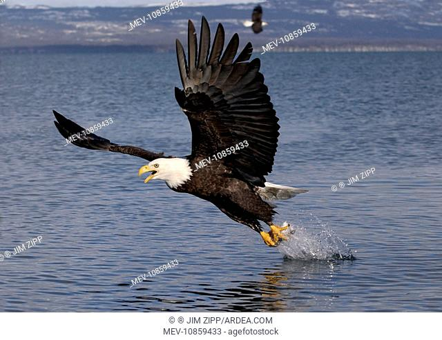 Adult Bald Eagle - fishing the waters of Homer Alaska. (Haliaeetus leucocephalus)