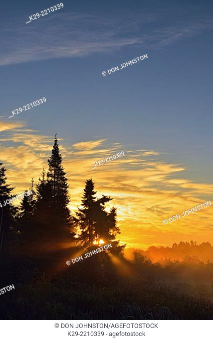 Sunbeams and morning fog arond a stand of spruce trees at dawn, Greater Sudbury, Ontario, Canada