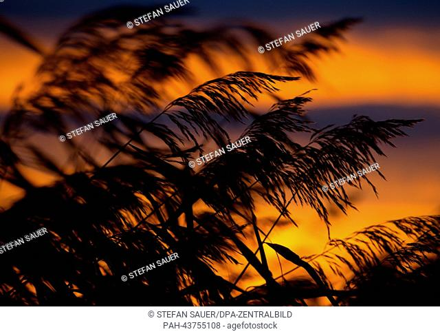 Reeds silhouette against the orange sky during sunset in Wolgast on the island of Usedom, Germany, 23 October 2013. Photo: Stefan Sauer   usage worldwide