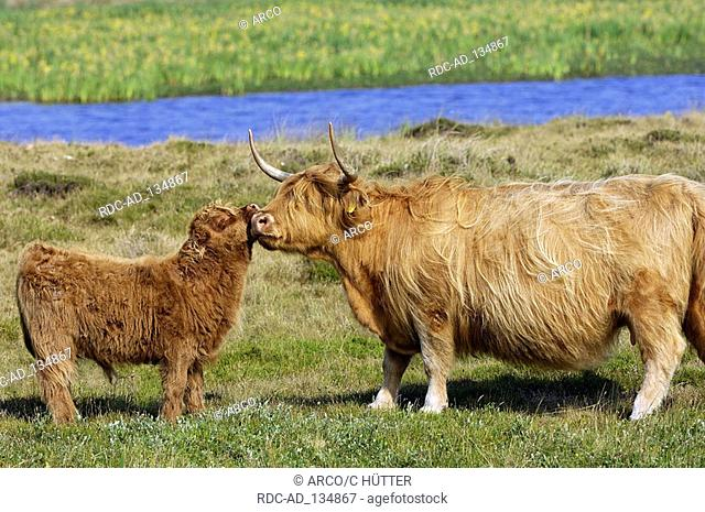 Scottish Highland Cattle cow with calf Texel Netherlands