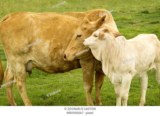 charolais cow with baby calf - spring time mother love charolais cow with baby calf - spring time mother love