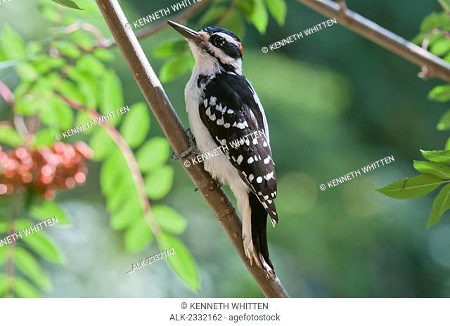 Male Hairy Woodpecker (Picoides villosus) perched on Mountain Ash tree, Fairbanks, Alaska, Summer