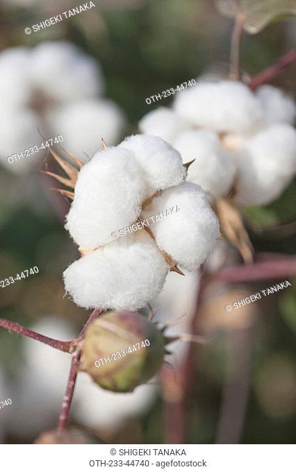 Cotton, Turpan, Xinjiang, China