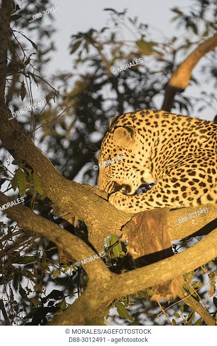 Africa, Southern Africa, South African Republic, Mala Mala game reserve, savannah, African Leopard (Panthera pardus pardus), resting