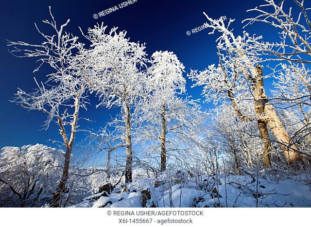 Snow and frost on trees in winter, Hohen Meissner National Park, North Hessen, Germany