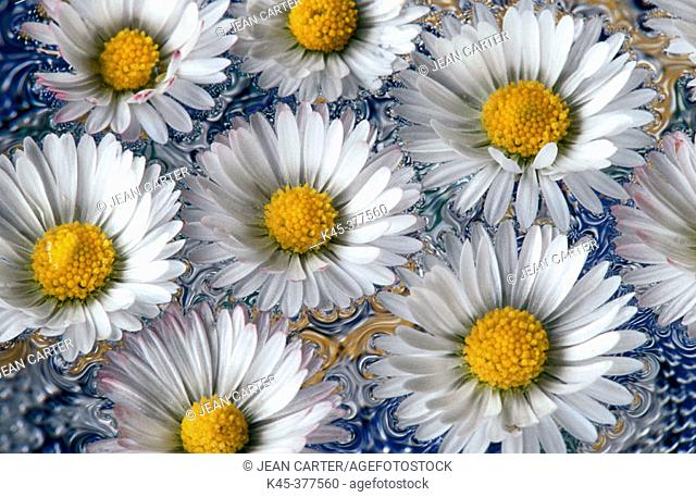 English daisies floating on water, Coos Bay, Oregon, USA