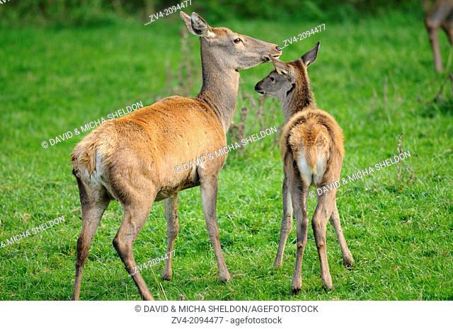 Close-up of a red deer (Cervus elaphus) mother with her youngster on a meadow