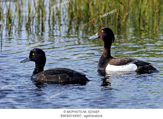 tufted duck (Aythya fuligula), swimming couple, Netherlands, Texel