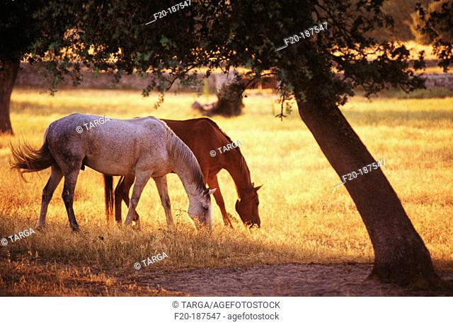 Horses. Monfrague Natural Park. Caceres province. Spain