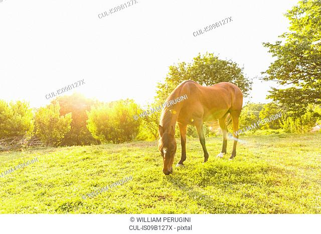 Horse grazing in field landscape