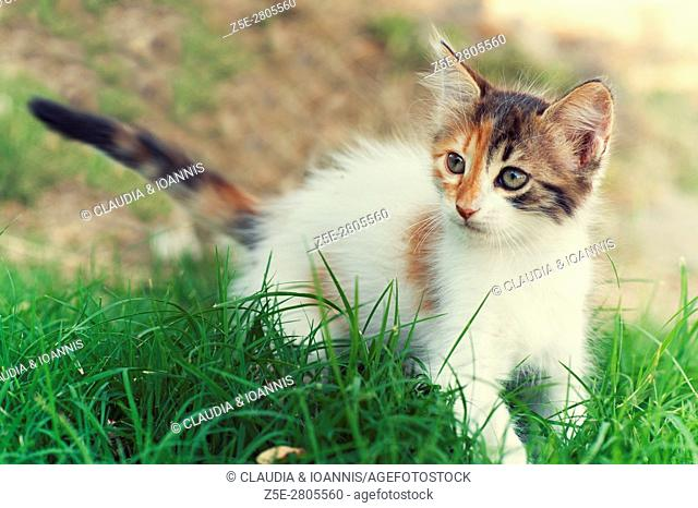 A calico kitten in the garden