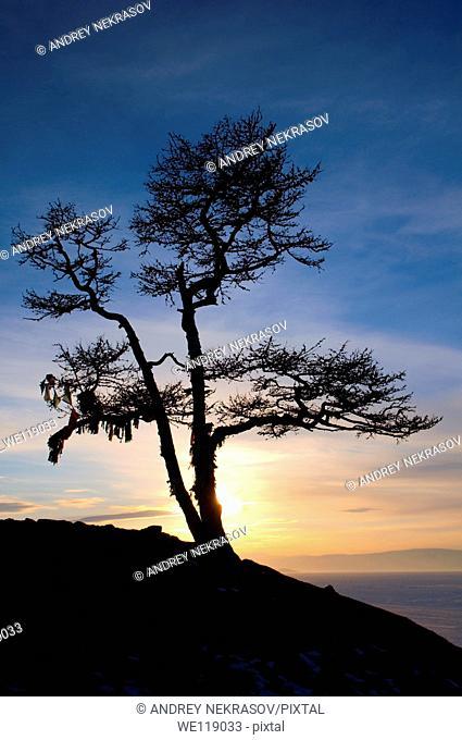 Lonely tree  lake Baikal, Siberia, Russia, island Olkhon