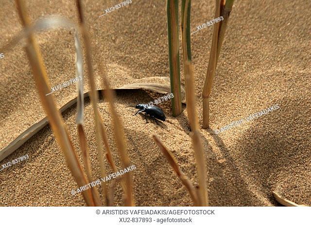 beetle in the Tengger desert Ningxia China