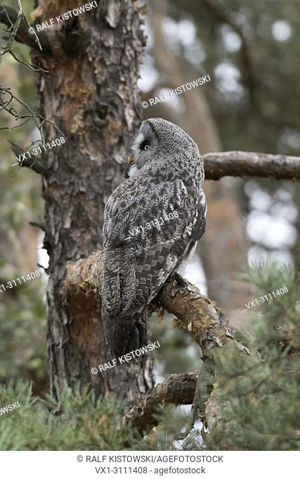 Great Grey Owl / Bartkauz ( Strix nebulosa ) perched in a pine tree, hunting, well camouflaged, watching back over its shoulder, Europe