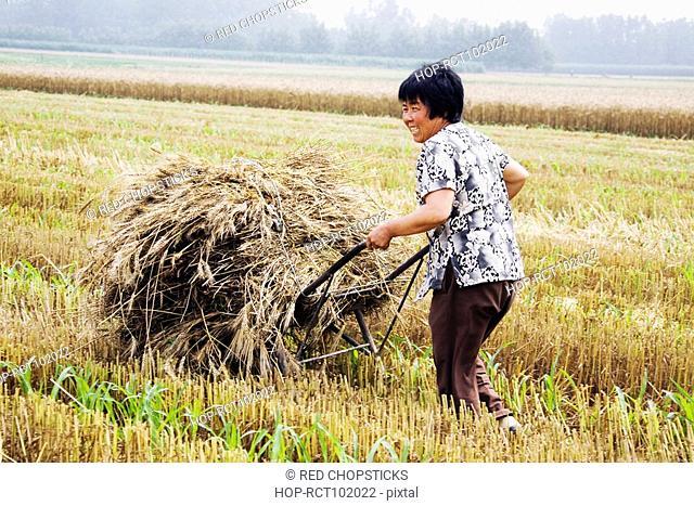 Farmer carrying bundles of wheat stalk on a wheelbarrow, Zhigou, Shandong Province, China