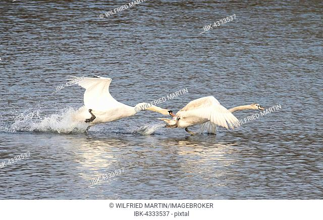Adult Mute Swan (Cygnus olor) drives cygnet off the area, Hesse, Germany