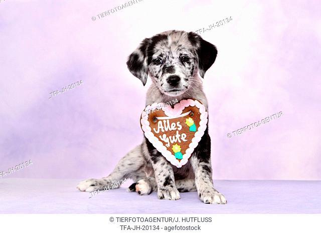 Australian-Shepherd-Labrador-Mongrel Puppy