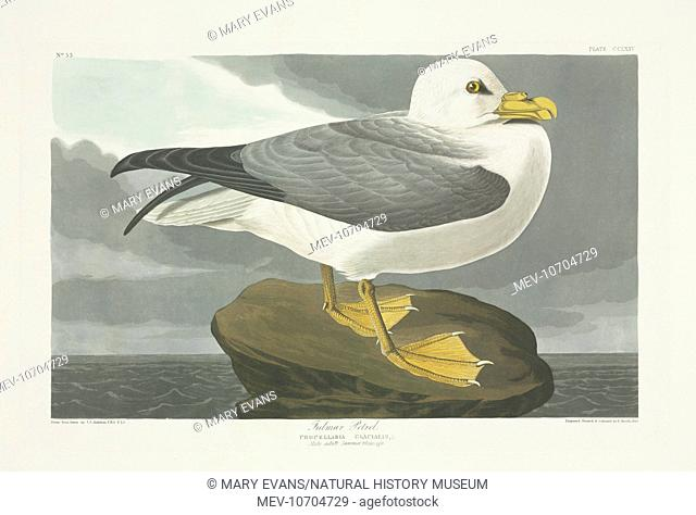 Plate 264 from John James Audubon's Birds of America, original double elephant folio (1834-35), hand-coloured aquatint. Engraved, printed and coloured by R