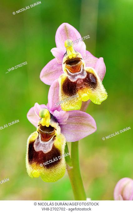 Sawfly Orchid (Ophrys tenthredinifera). Extremadura. Spain