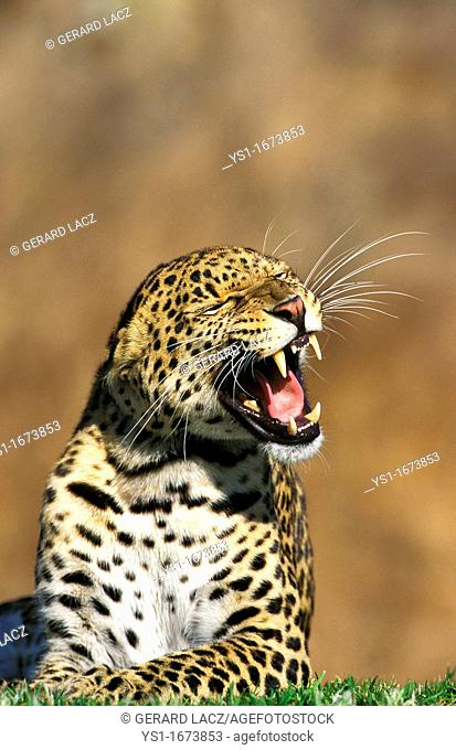 Leopard, panthera pardus, Adult snarling, with Open Mouth, Kenya