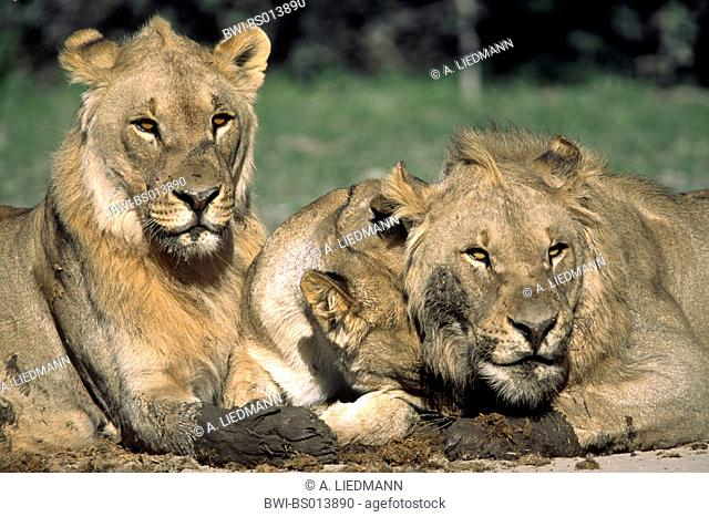 lion (Panthera leo), three lions, portrait, Namibia, Ovamboland, Etoscha NP