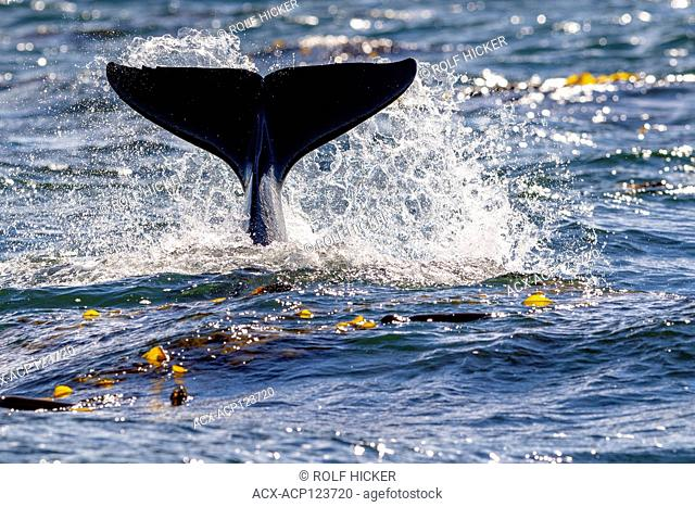 Northern resident killer whale spalshing with fluke near Lizard Point, Malcolm Island, Vancouver Island, British Columbia, Canada