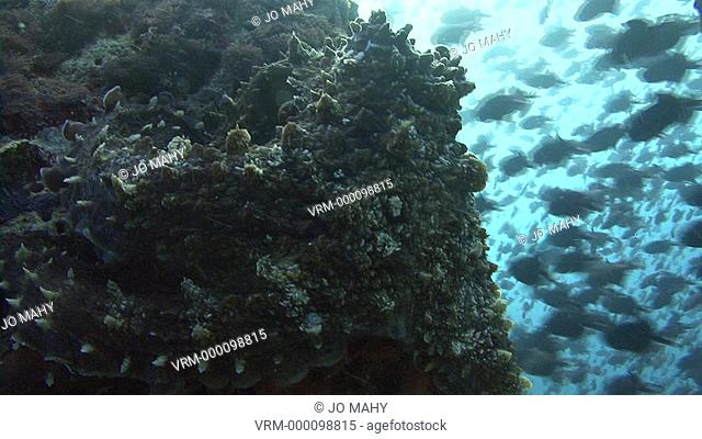 octopus pressed against rock cu. Maldives, Indian Ocean